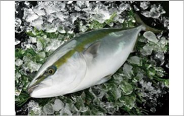 Farmed yellowtail (Fillet, others)